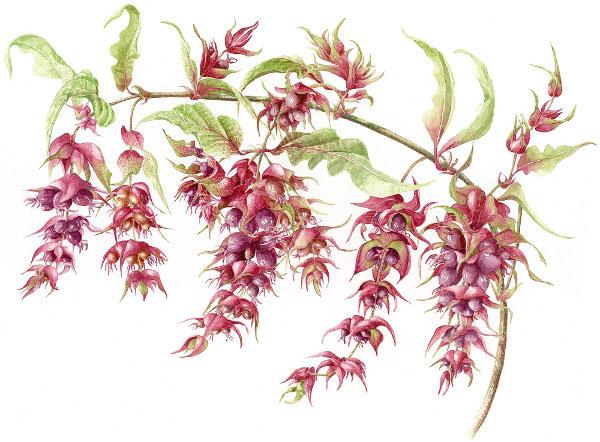 Pheasont-Berry